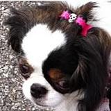 maltese puppies bow